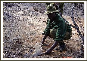 One of the de-snaring members rescuing a Dikdik
