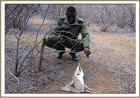 A desnaring team member with a dead snared Dikdik
