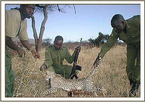 The dead snared cheetah