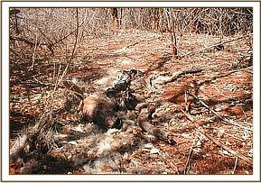 Carcass of a snared side striped fox