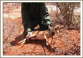 Rescuing the snared Dikdik