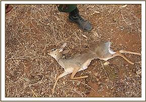 Another dead snared Dikdik