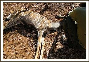 A lesser kudu dies while freeing it from a snare