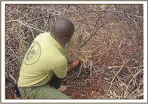 A snared Duiker at found at Ndii