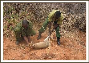 The Duiker is freed from the snare