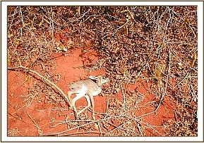 A dead snared Dikdik found at the Mbulia ranch