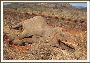 Bull elephant killed by a cargo train at Ndii