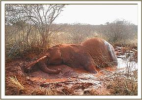 Elephant stuck in mud at Mzima springs pipeline