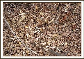 Dikdik carcass at Ndii