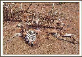 A dead zebra at taita wildlife santuary