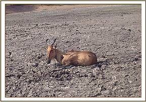 Hartebeest trying struggling in the drying dam
