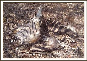 Zebra killed by poachers at wildlife sanctuary