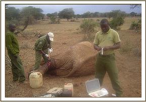 The vet treating the wounded elephant