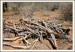 A pile of dry wood found at Mbulia Ranch