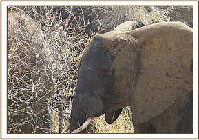 An elephant sighted with a snare on her trunk