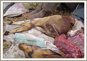 A confiscated snared Impala