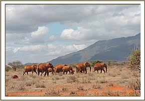 HERD OF ELEPHANTS SIGHTED AT NGUTUNI RANCH