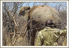 Ranger monitoring a darted elephant