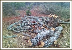 Illegal logging evident at Oza ranch area