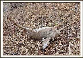 A snared dikdik carcass at Shifta rock area