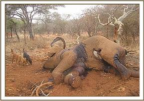 Fresh elephant carcass at Oza ranch