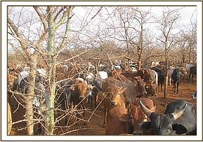 Illegal livestock grazing in Tsavo West NP