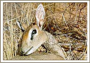 A male Dik-Dik having died