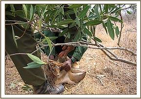 A snared Dikdik is rescued
