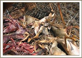 A heap of snared and butchered Dikdik
