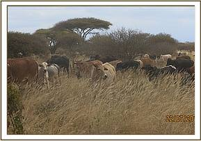 big herds of livestock sited grazing in the park