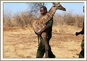 Carrying the orphaned giraffe