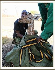 The baby giraffe in the tarpaulin ready for the flight
