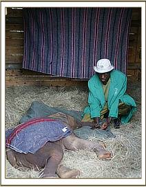 The exhausted baby sleeps in her nursery stable on arrival at Nairobi