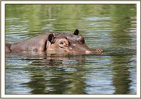 Hippo in the clear waters of Mzima Springs
