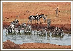 The Zebra herds drinking at Kilaguni waterhole