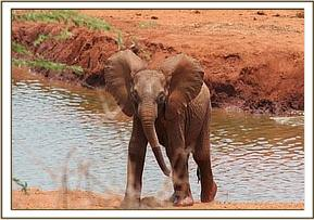 The orphaned calf at Kilaguni waterhole