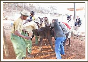 The calf is restrained so that Abdi is able to give her the antibiotic injection