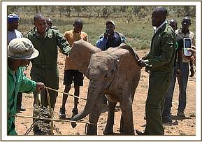 The calf is captured by the keepers and rescue team