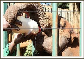 Suswa having some milk in her stockade
