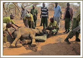The keepers calm the orphan before loading into the vehicle