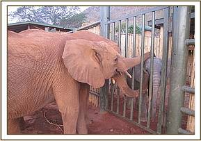The Voi orphans welcoming the new arrival