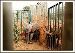 Kitirua being greated warmly by the Nursery elephants the morning after her rescue