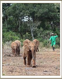 Narok leading the way as the orphans head for their milk feed