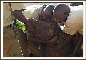 The rescued calf is given rehydration