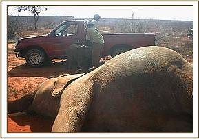 Shimba in the background with a Keeper and vehicle with his bloated mother in the foreground