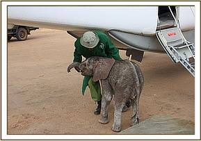 The tiny elephant just a week old is dwarfed by the aircraft