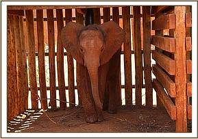 Araba in her stockade a week after arrival
