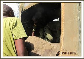 Loading the calf into the Faru desnaring vehicle