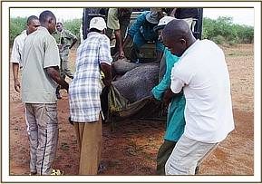 Unloading the calf from the Ziwani de-snaring vehicle