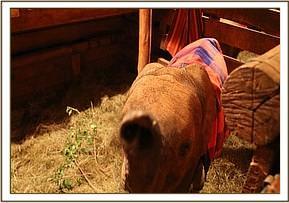 Naseku in einem Stall, bevor sie in ihr Gehege umzog